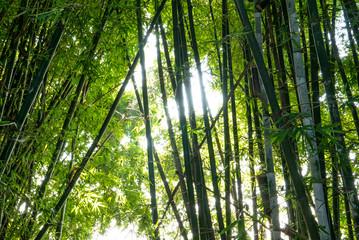 wilder Bambus im Sonnenschein