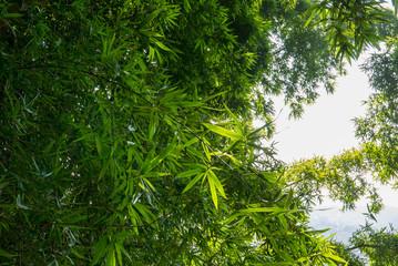 grüner wilder Bambus in Nepal