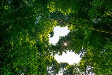große Bambus Pflanzen in Nepal