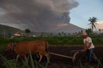 A farmer ploughs his field as Mount Agung erupts in the background in Culik Village