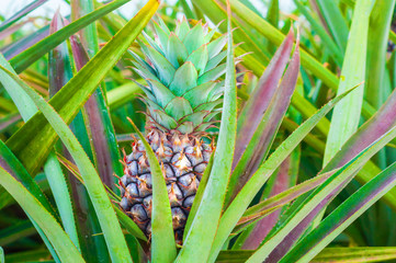Close up to Pineapple fruit between leaves in Farm of Countryside Thailand