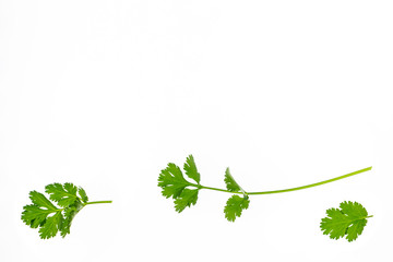 fresh cilantro leaves and stalks on white background with copy space
