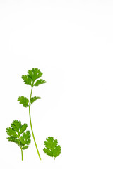 closeup of Chinese parsley leaves on white background