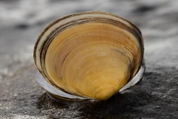 Muschel im Wattenmeer
