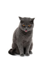 gray cat of Scottish breed isolated on white background