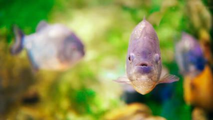 Underwater Closeup Of Piranha Fish