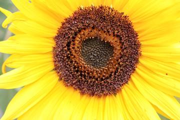 Yellow Sunflower 3