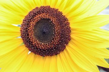 Yellow Sunflower 2