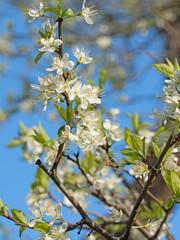 Blühender Pflaumenbaum, Frühling