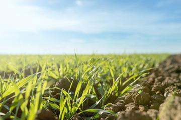 Young green wheat growing in soil. Wheat seedlings growing in a field.