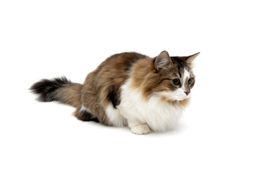 beautiful fluffy cat isolated on white background