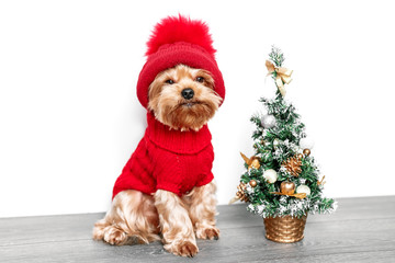 Merry Christmas Dogю Yorkshire Terrier in a house decorated with a Christmas tree and red hat