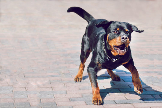 Angry rottweiler dog barking. Dog is protecting its territory.