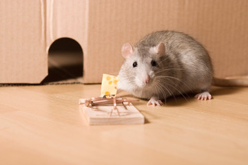 mouse trap, cheese in mousetrap and rat near hole