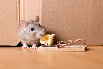 mouse trap, rat in hole eating cheese in mousetrap