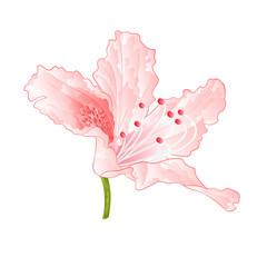 Light pink flower rhododendron shrub vintage  vector illustration editable hand draw