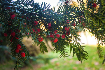 Holly Leaves and Red Berries Bush, Nature View in a Park on a Sunny Day