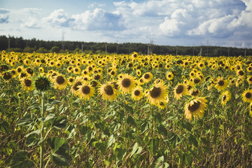 field of sunflowers in the background of forest and clouds