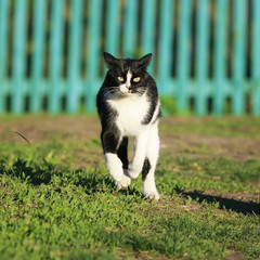 funny cat quickly runs along the path among the grass in the summer garden raised high legs