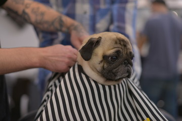 Pug climbing in barbershop. Caring for a dog. Astonished dog.
