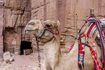 Colorful Camels in waiting at Petra Jordan