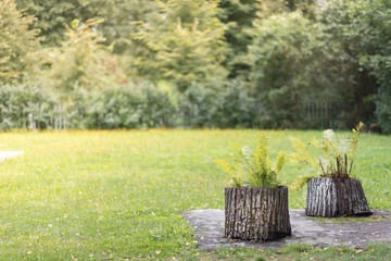 Fern on a stump in a forest