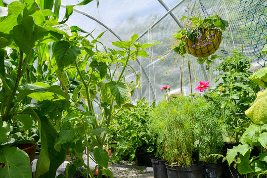 Interior of Polytunnel/ Hoop House
