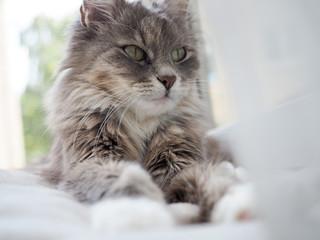 A cute, charming, fluffy, gray kitten that lies on the windowsill