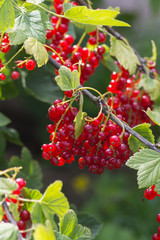 berries in a german cottage garden