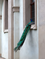 Peacock is sitting on the window of an ancient building