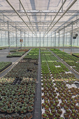 Different types of bedding plants grown in a greenhouse in the Netherlands