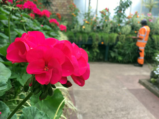 Red geranium flowers  blossom in greenhouse