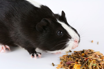 Portrait of cute guinea pig on white background. Guinea Pig Eats Vitaminized Feed