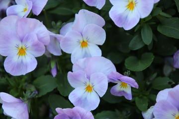 lila pansies