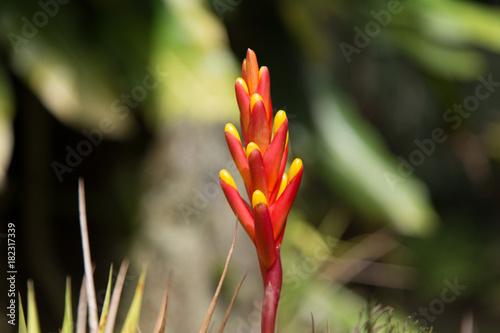 Jardin De Balata Martinique Fleur Jaune Et Rouge Stock Photo And