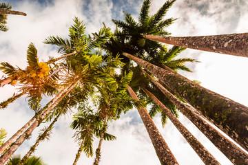 Jardin de Balata, Martinique, Caraïbes : Palmier qui poussent vers le ciel