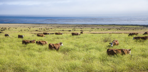 cows graze fresh grass on a meadow in Andrew Molina State park