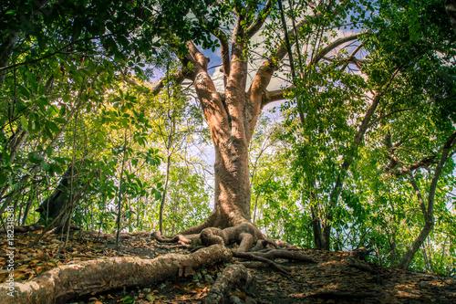 Arbre Avec Racine caraïbes, martinique : vieil arbre avec de grosses et grandes