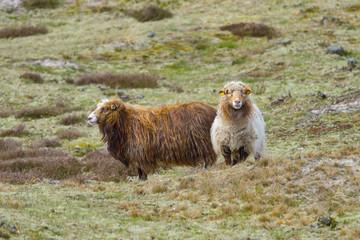 Zwei Schafe auf der Wiese