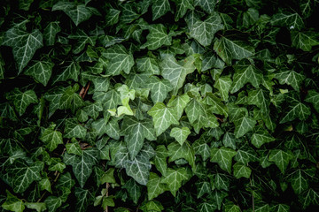 Ivy Texture, green leaves background, leaf pattern