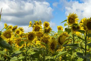Sonnenblumenfeld und Wolkenhimmel