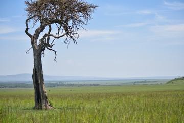 Lone acacia tree on African savanna
