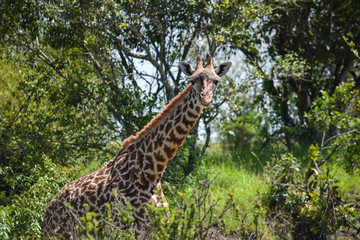 Closeup of giraffe camouflaged by trees in background