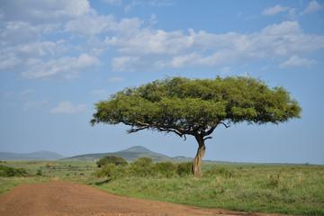 Lone large acacia tree next to dirt road on savanna