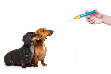 ill sick dogs with illness and vaccine syringe