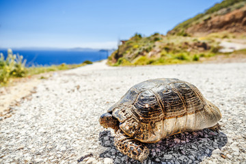 Turtle on the asphalt road going away at blue sea and sky background. Slow motion on road traffic jam concept.