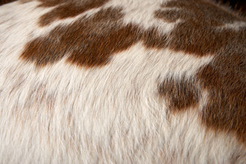 Close up on white cattle hair with brown spots