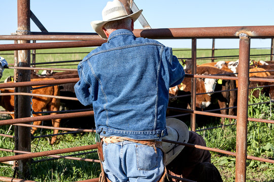 Two cowboys working with steers in a pen