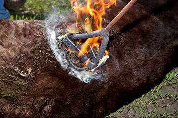 Branding a young steer with a branding iron