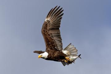 Bald Eagle Flying with a Fish Fotoväggar